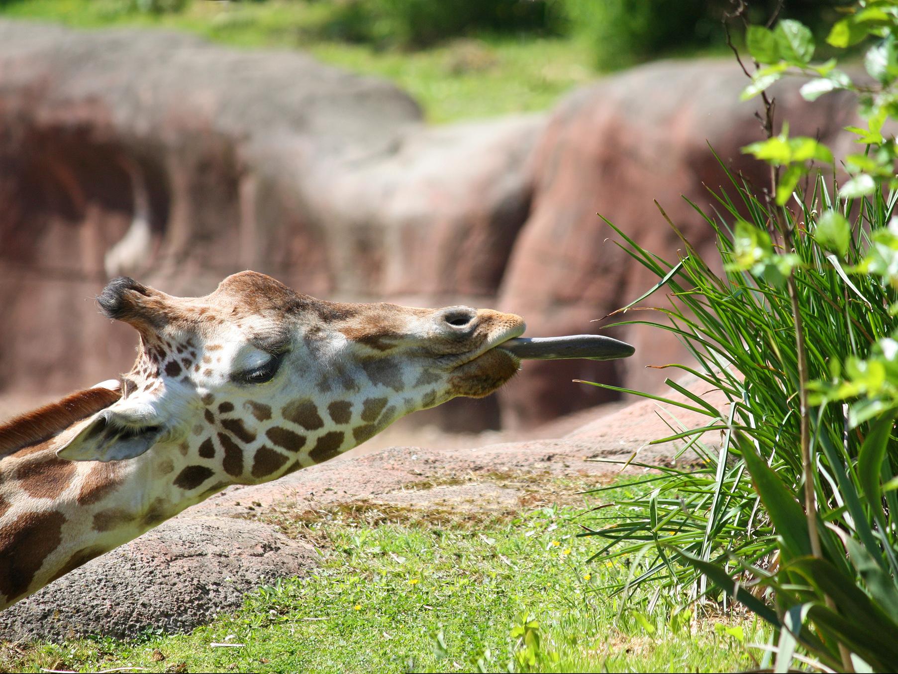 GaiaZOO - de Giraffen (116)