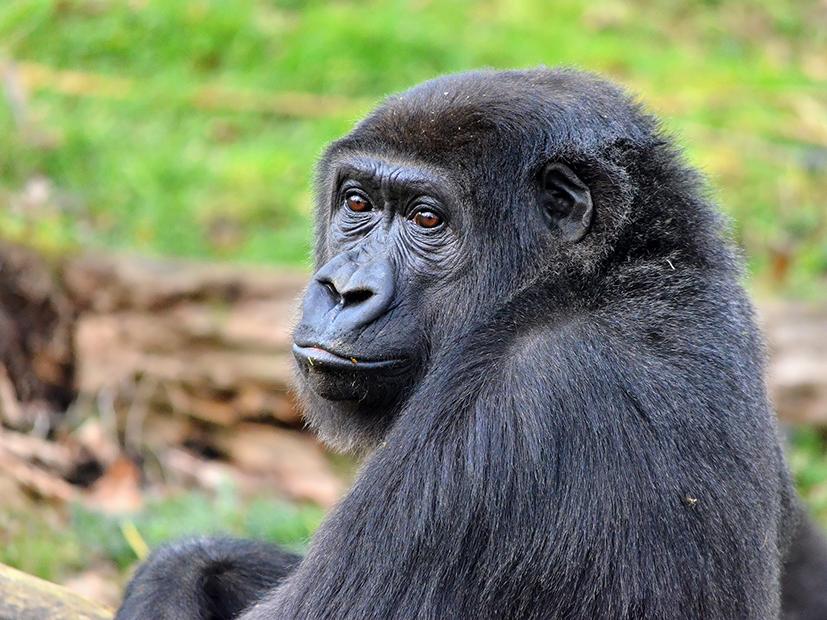 Gaiazoo gorilla sangha 25-02-2012(61)TL